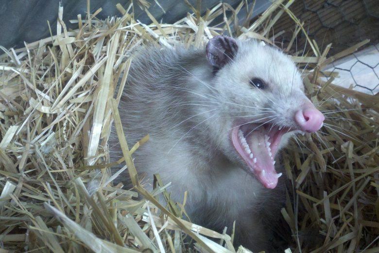 Angry Opossum