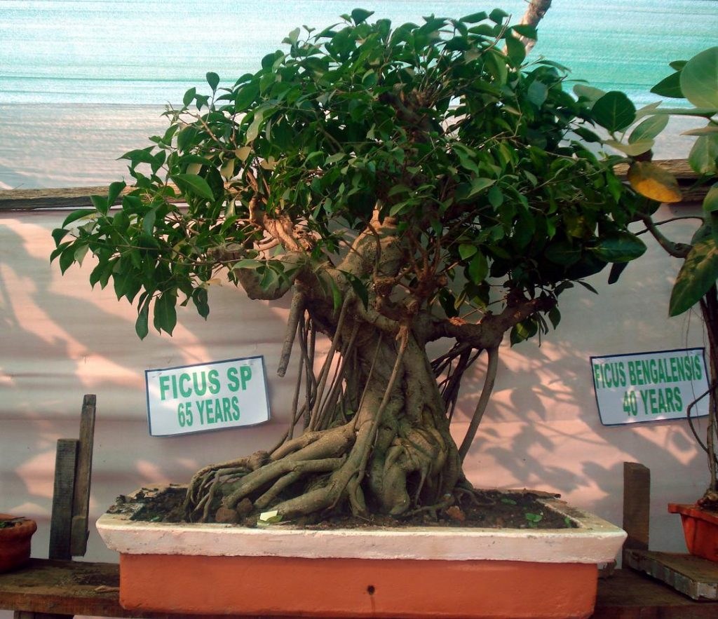Facts About Bonsai Tree Definition And Meaning My Beautiful Adventures