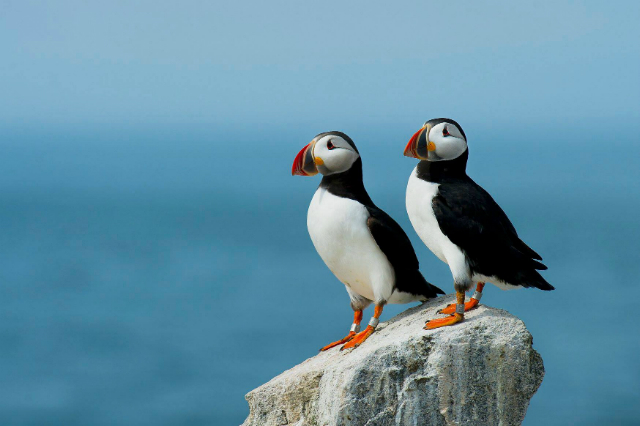 Puffins Resting On Rock