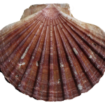 What is the jumbo sea scallops features and benefits