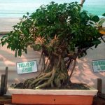 FACTS ABOUT BONSAI TREE –  DEFINITION AND MEANING