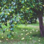 The Good And The Bad Of Planting A Fig Tree In Your Garden