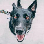 Can I Walk My Dog Amid COVID-19?