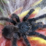 How to Take Care for Your Pink Toe Tarantula (Avicularia Versicolor)